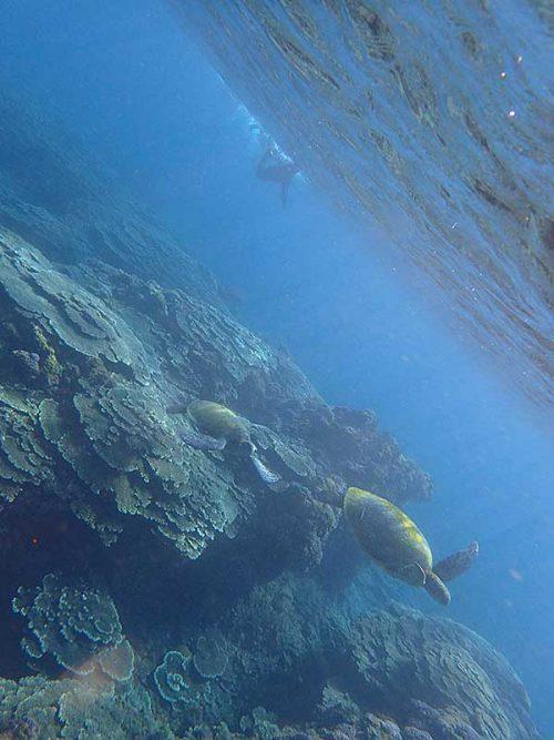 大小ウミガメ泳いでいたり