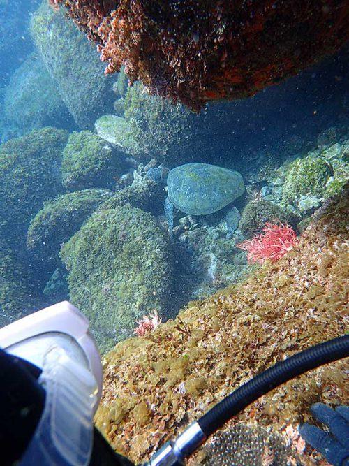 テトラの下で休憩中のウミガメさん