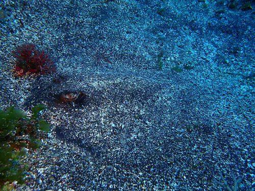砂に隠れるヤッコエイ