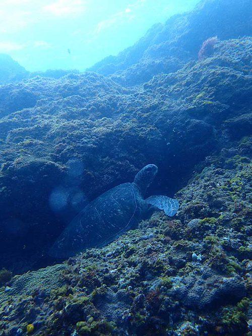いつもと違う隙間にアオウミガメがハマっていたり