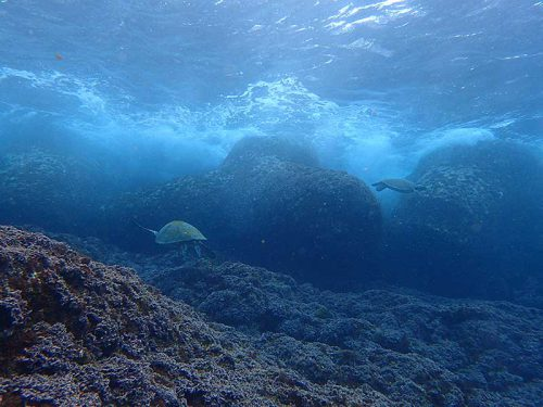 テトラの裏にはアオウミガメ達集まっていて