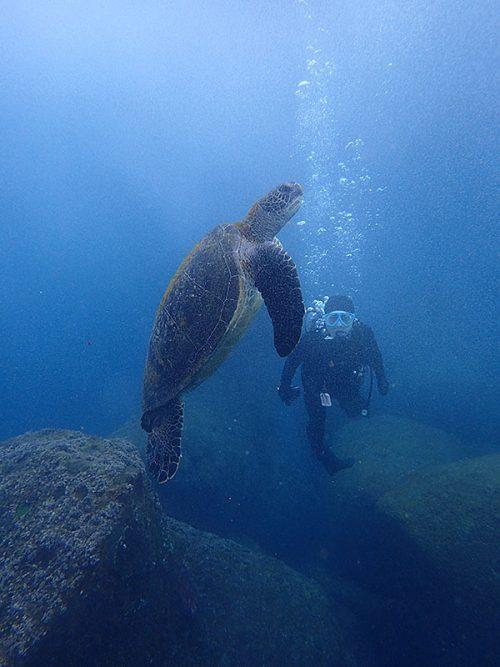 のんびり浮いてたウミガメ見つけ