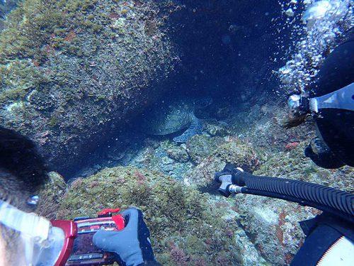 隙間で休憩中だったアオウミガメ