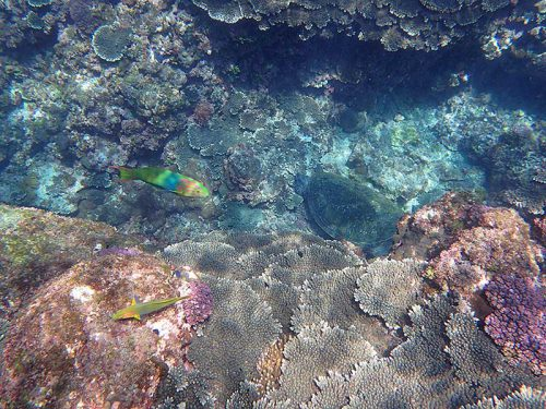 岩陰で休憩してたアオウミガメ