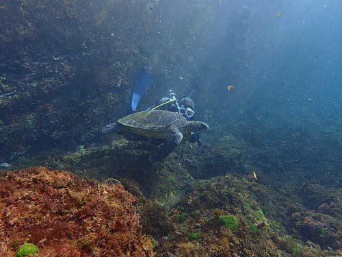 ウミガメと一緒にちょっと泳いでみたりして