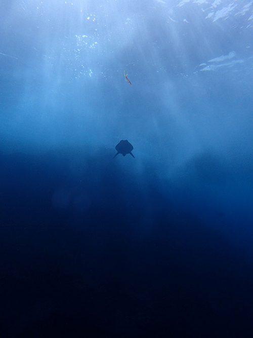 上を見るとウミガメ泳いでおりまして