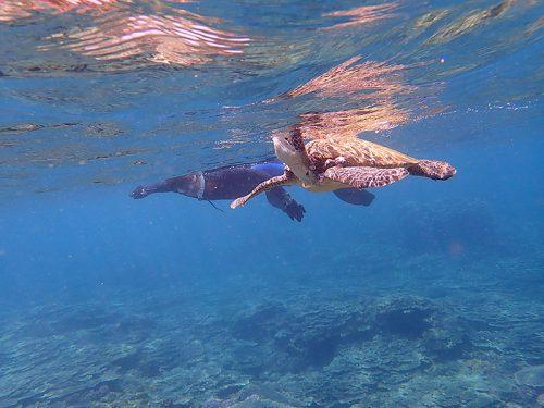 息継ぎしにきたアオウミガメ