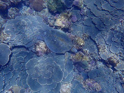 サンゴの上で休憩してたアオウミガメ