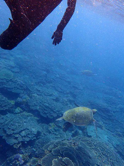 のんびり泳ぐアオウミガメ達