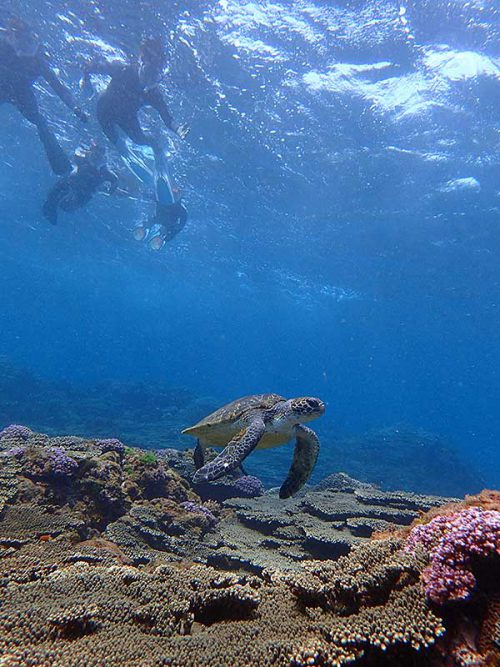 小さいウミガメ泳いでて