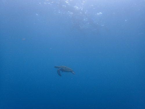 沖を周ってウミガメ見てみて