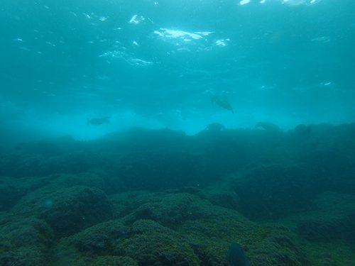 浅場でお食事中のアオウミガメ達