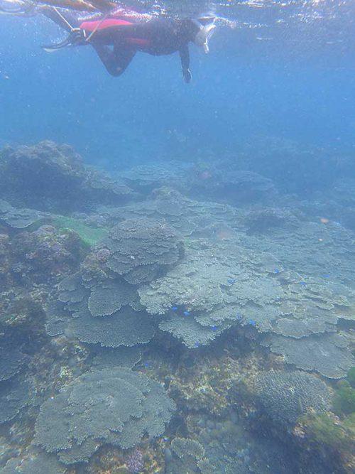 サンゴの広がるところをウミガメ探して泳いで周り