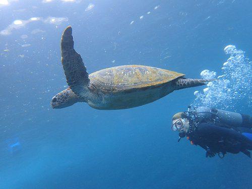 体験ダイビングでウミガメと一緒に泳げたり