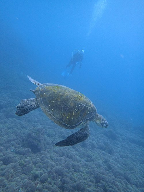 泳ぐウミガメ途中で見かけ