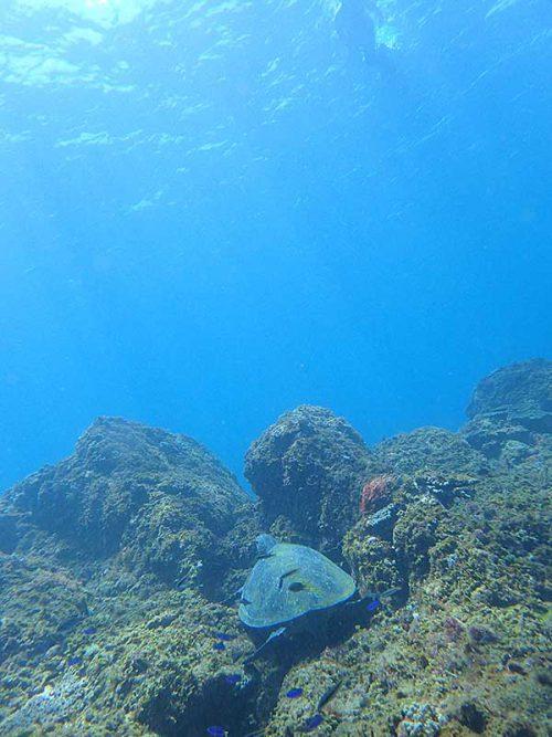 根上で休憩中のアオウミガメ