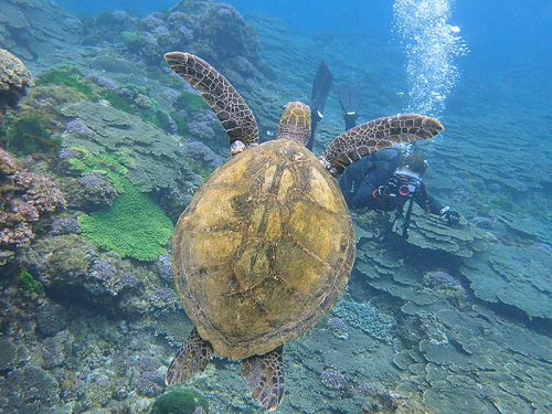 ちっこいウミガメ目の前泳ぎ