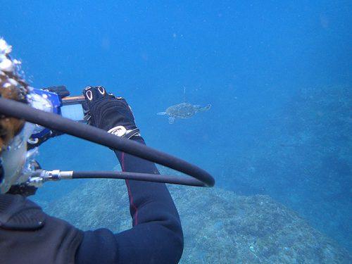 こぶりなウミガメ泳いでいたり