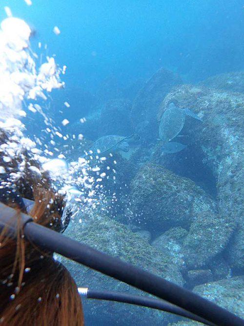 湾内でのんびりしてたアオウミガメ達