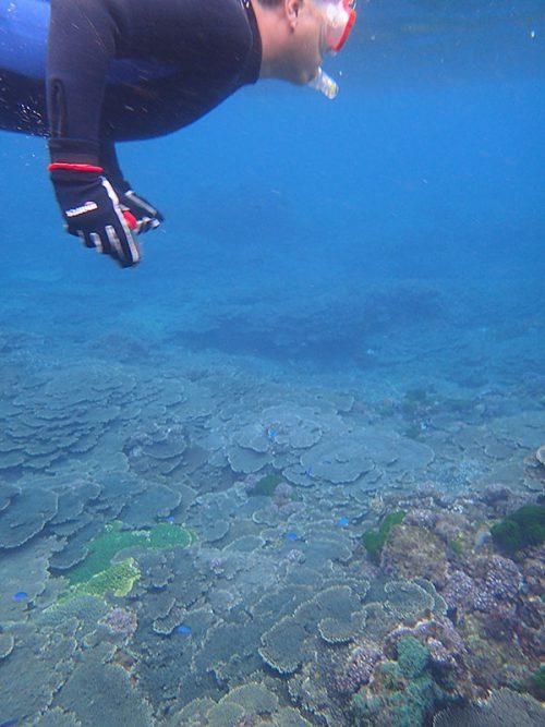 サンゴの上にはソラスズメダイとかもたくさんで