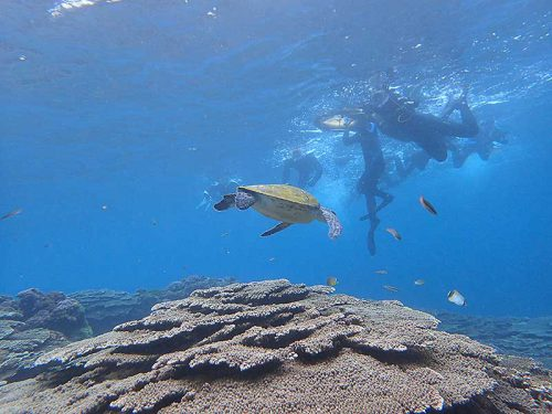サンゴのとこにはちっこいウミガメおりまして