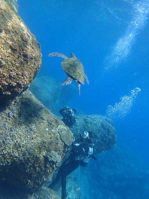 泳いで横切るアオウミガメ