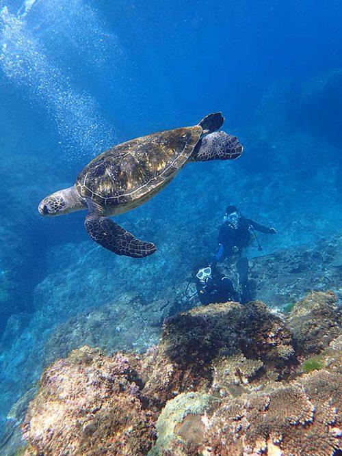 泳ぐウミガメ下から眺め