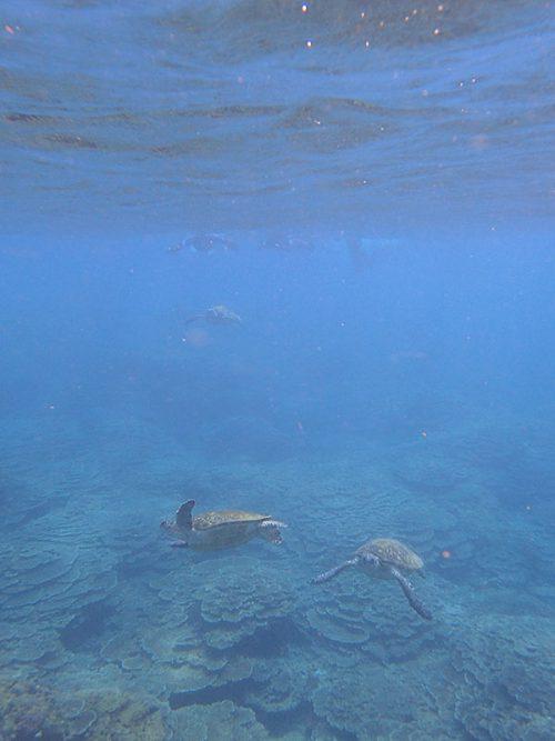 今日もウミガメたくさんで