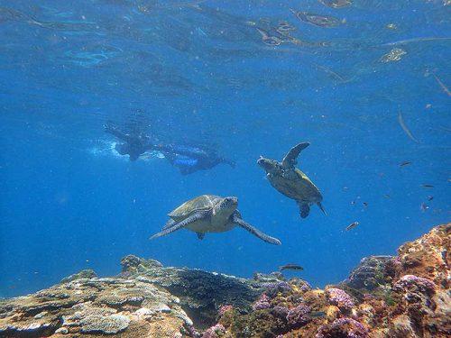 集まってたアオウミガメ達