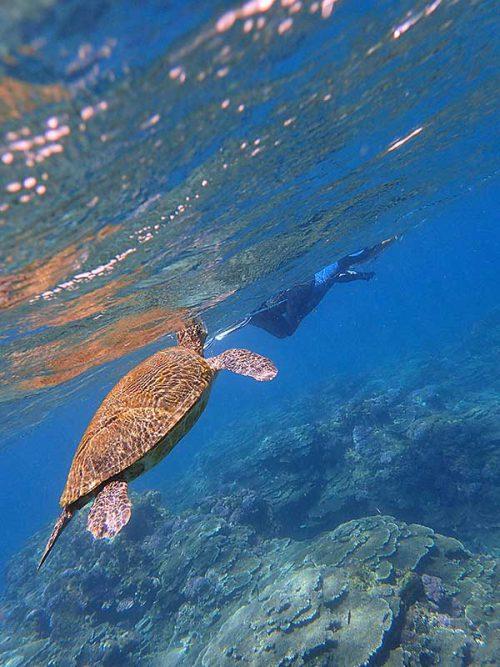 呼吸をしにきていたアオウミガメ