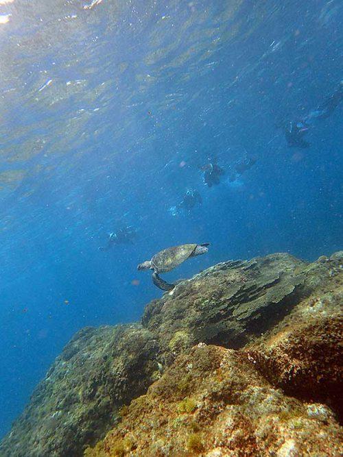 泳ぐウミガメみんなで見て行き