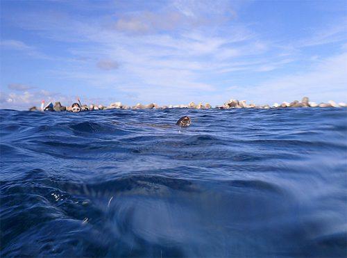 呼吸しに頭上げてるアオウミガメ