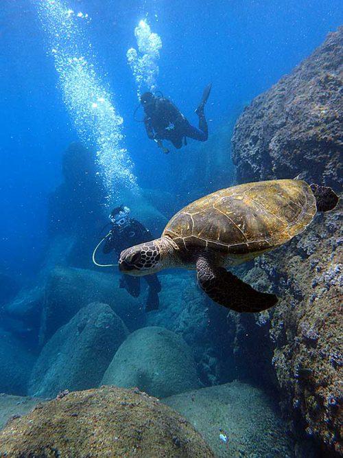 泳ぐウミガメ見てみたり