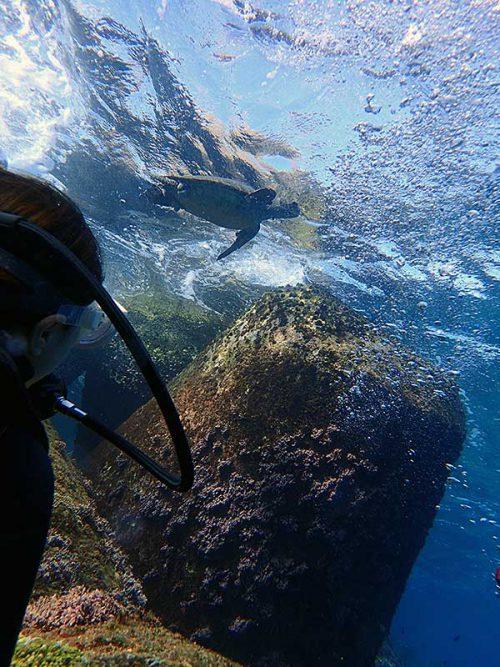 呼吸しに上がっていってたアオウミガメ