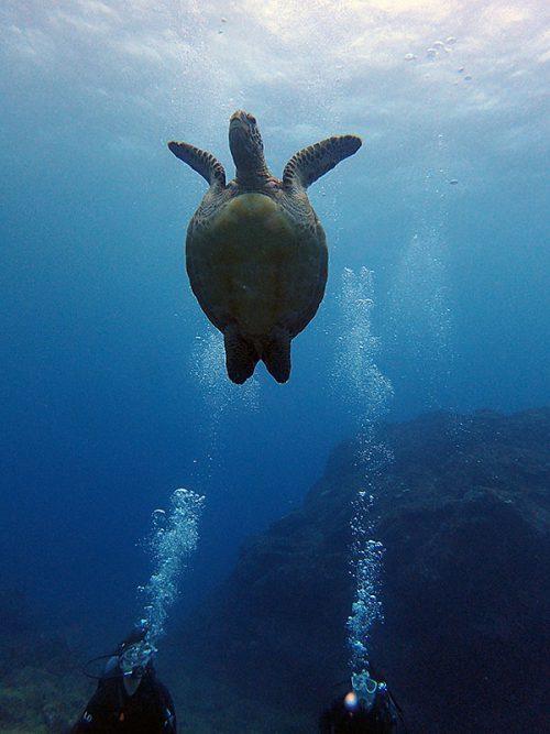 水面付近に泳いで行ってたアオウミガメ