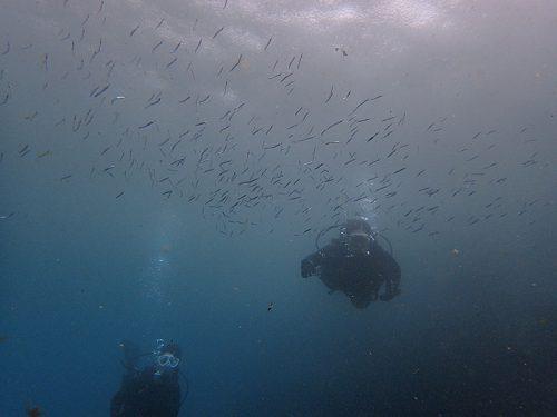湾内濁りはあるがキビナゴちょろっと集まってたり