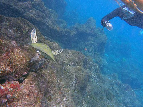 海草食べてたちっこいウミガメ