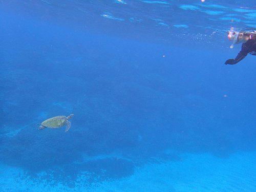 ちっこいウミガメ泳いできてて