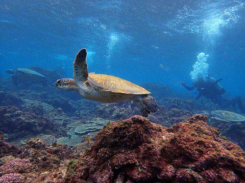 浅場に集まるアオウミガメ