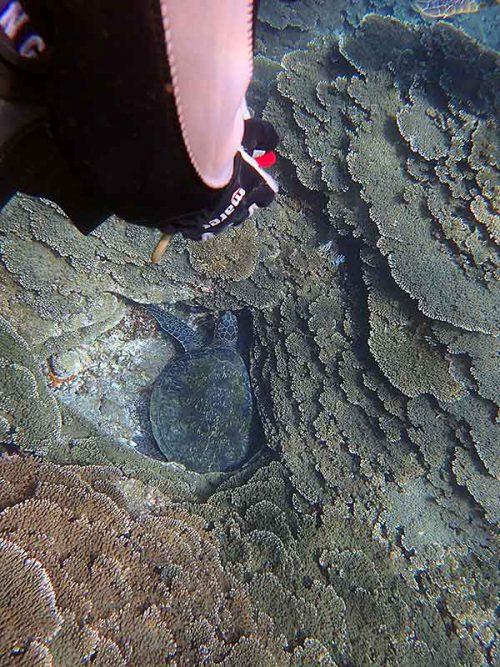 サンゴの隙間にアオウミガメ