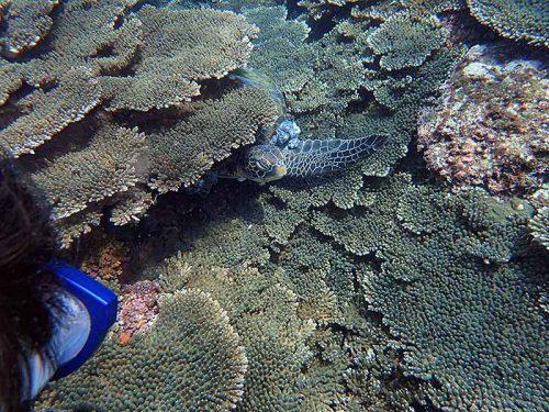隙間からちょろっと顔出すアオウミガメ