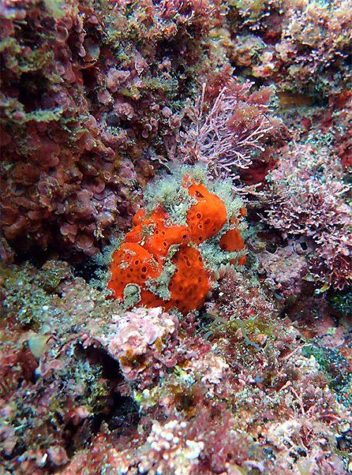 オレンジ色のカエルアンコウ
