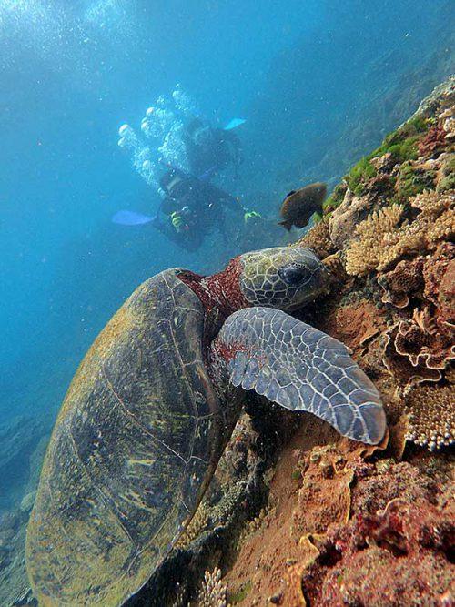 浅場でウミガメ食事中