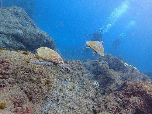 ちっこいウミガメ集まってたり