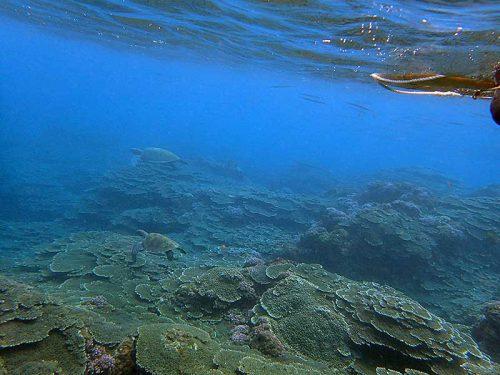 ちょっと泳げばウミガメたくさん降りまして
