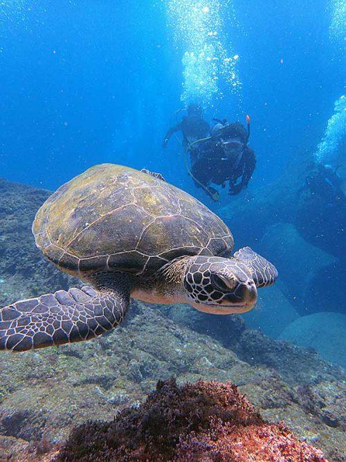ウミガメのんびり泳いでいたり
