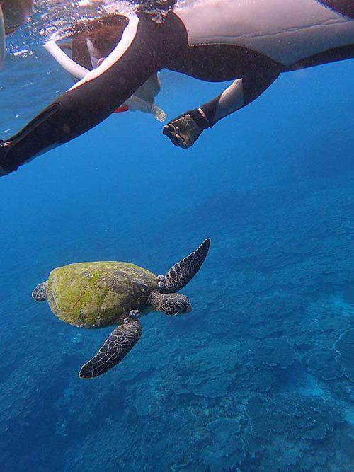 ウミガメ前から泳いできてて