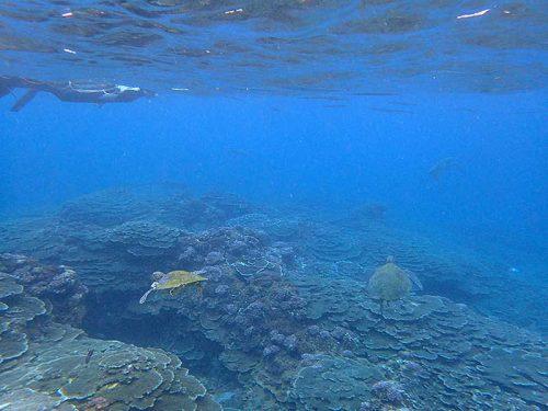 たくさん集まるアオウミガメ