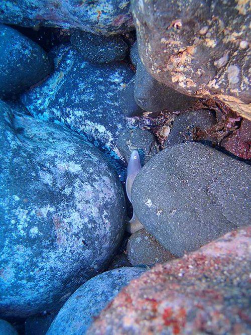 岩の隙間にサビウツボ