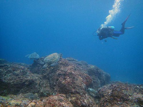 アオウミガメ達集まってたり